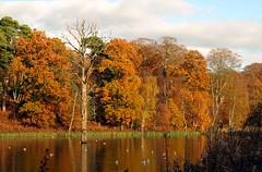 Clumber Park 5647 (saxonfenken) Tags: challengeyouwinner 6875trees 6875 clumber reflection pond lake birds autumn