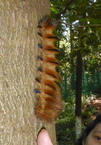 Eupterotidae: unidentified sp. caterpillar 3