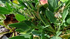 Anthyllis vulneraria subsp. polyphylla (Fabaceae) (Kuusaanniemi, Kouvola, 20150827)