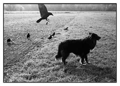 (bakmak71) Tags: minoltax300 fomapan400 push800 analog swfilm scanvomnegativ myblackfriends raben crows krähen saatkrähen rabenkrähen raven bandi littledoglaughednoiret