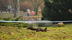 black squirrel (JoannaRB2009) Tags: squirrel animal park parkimksiciajzefaponiatowskiegowodzi autumn fall nature people d lodz polska poland