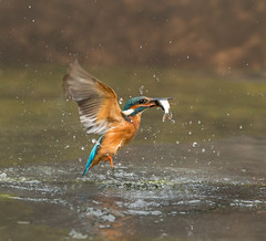 kingfisher (Alcedo atthis) (Explored 19.11.2016) (Steven Whitehead) Tags: kingfisher fishing fish flying water stream wildlife wild nature birds bird diving 2016 feeding feathers wet canon canon1dx orange blue