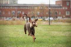 607A5884-bewerkt (Bianca Schouten) Tags: doberman dobermann dogs dog