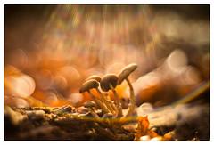 A Shower of Light (Paulemans) Tags: paulemans paulderoode m42 mushrooms fungi flare paddestoelen bubbles bubblebokeh meyeroptikgoerlitz1qoreston1850