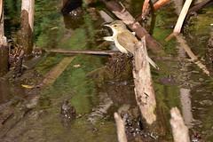 Reed-Warbler (Luke6876) Tags: australianreedwarbler reedwarbler warbler bird animal wildlife australianwildlife