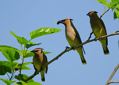 4-7-12 Triple Waxwings (janeswalden) Tags: bird gardens berry cedar mead waxwing