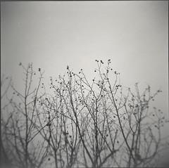 0722 (nori 4_4) Tags: bw tree 6x6 film monochrome japan analog square shanghai 11 d76 kanagawa selfdeveloped gp3 holgagn