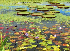 Lily Pads I (Cher12861) Tags: flowers summer nature water beauty yellow garden landscape purple garfieldparkconservatory chicagoillinois waterlilys lilypods makemoocard fromthearchivesfromseptember2011