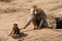 Amersfoort Zoo - The Netherlands (Marcel Berendsen - The Netherlands) Tags: animal zoo monkey nederland thenetherlands baboon aap amersfoort baviaan hamadryasbaboon papiohamadryas dierenpark zooanimal apen amersfoortzoo dierenparkamersfoort mantelbaviaan