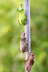 Puipevine Swallowtail-7701 (Timtastic!) Tags: butterfly aristolochia pupa pipevineswallowtail diapause battus hirsuta philenor chyrsalis