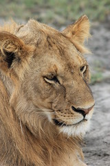Ndutu Lion (jnyaroundtheworld) Tags: africa animals tanzania wildlife lion ngorongoro crater zebra giraffe massai serengeti animaux girafe afrique faune zbre tanzanie greatmigration wetseason manyaralake ndutu felins masa lacmanyara saisondespluies grandemigration