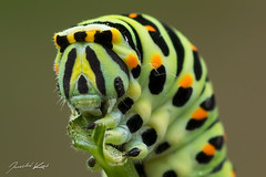 Papilio machaon - caterpillar / Old World Swallowtail / Otakrek fenyklov - housenka (Jaroslav Kaas) Tags: green animals canon insects lepidoptera caterpillar arthropods animalia arthropoda insecta papilionidae butterfliesandmoths taxonomy:class=insecta taxonomy:order=lepidoptera taxonomy:kingdom=animalia taxonomy:phylum=arthropoda taxonomy:family=papilionidae taxonomy:genus=papilio camera:make=canon exif:make=canon exif:iso_speed=200 exif:aperture=f8 taxonomy:binomial=papiliomachaon taxonomy:species=machaon exif:flash=off camera:model=canoneos7d exif:model=canoneos7d exif:tripod=on exif:lens=canonef100mmf28lmacroisusm exif:exposure=120sec swallowtailsandapollos original:filename=img18189jpg