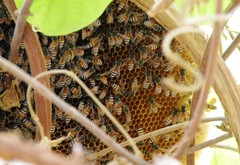 Growing bee hive (Mink) Tags: house home window bees kuwait creeper beehive kuwaiti rangoon