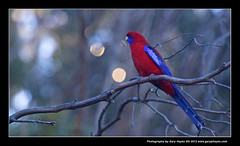 Crimson Rosella - 008_Katoomba Winter Magic Festival - Blue Mountains Sydney (Gary Hayes) Tags: people australia newsouthwales katoomba zeiss35mmf2 canon5d2 canon17mmtse fujix100 canon100400mllens lumixft3 wintermagicfestival2012