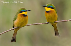 Little Bee-eater (Merops pusillus) (www.mikebarthphotography.com 2M Views thanks !) Tags: little ngc npc beeeater merops pusillus specanimal avianexcellence