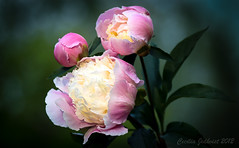 Pionies (Cecilia Jidkvist) Tags: flowers flower samsung 11 tokina 90 f25 nx pion piony pionies bokina