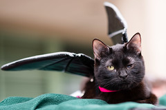 Batcat! (Knight725) Tags: cat pennslanding d800 batcat adoptionevent 85f18