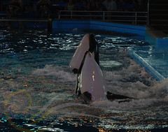 Takara and Unna2 (GypsySkye7) Tags: sanantonio believe orca seaworld shamu takara killerwhale unna captivity