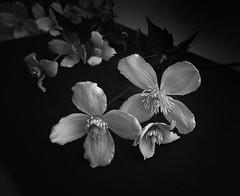 Clematis (3pebbles) Tags: plant flower floral blackwhite leaf clematis petal