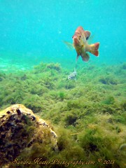 PICT0228 (2) (SantaFeSandy) Tags: county 2 fish water colors fauna flora sandra florida mullet sandy free scuba diving clear springs tiny nate catfish scubadiving fl pilings algae inches may22 count flounder wiggy gilchrist fanning 2013 sandykoster sandrakosterphotography sandrakosterphotographycom ewigman