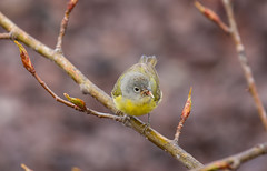 Nashville Warbler (Laura Erickson) Tags: minnesota birds species brightonbeach duluth passeriformes nashvillewarbler parulidae oreothlypisruficapilla