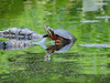 Painted Turtle (Christine_Ray) Tags: park county new pine state reserve national jersey pinelands salem barrens parvin belleplaincapemayandparvin