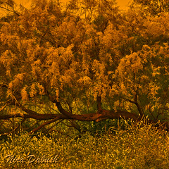 Tree Surronded by Yellows (Nira Dabush) Tags: flowers nature floral yellow photography israel artist photographer fineart    einafek   niradabushberkovitz  tamaricaceaetree