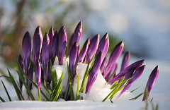 Crocus in the Snow (Mark Wordy) Tags: winter snow ice garden crocus mygarden springflowers purpleflowers crocuses newshoots