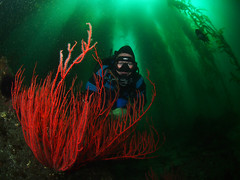 Hiding in the Kelp Forest (NirupamNigam) Tags: underwater wideangle kelp scubadiving southerncalifornia channelislands gorgonian anacapa kelpforest greenwater scubadiver californiadiving redgorgonian northernchannelislands