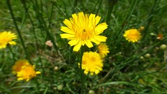 HAWKSBEARD (MacGuffin56) Tags: plant yellow botanical blossom bloom wildflower carync