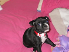 Little, blurry, Dolly (krisjaus) Tags: dogs puppy bostonterrier puppies buddy smalldogs newpuppy bostonterriers babydogs krisjaus danielleeberhart