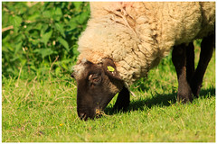 Springtime (4) (H. Bos) Tags: haven nature grass animal sheep natuur lamb gras lente sheeps dier lam springtime almere schapen schaap lammetje littlelamb waterlandsebos