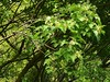 Acer tataricum L. ssp ginnala (Maxim.) Wesm. 1890 (SAPINDACEAE) (helicongus) Tags: flowers maple spain acer acerginnala amurmaple sapindaceae acertataricum acertataricumsspginnala jardínbotánicodeiturraran