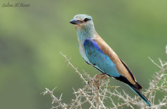-   () Tags: birds european roller    qatara