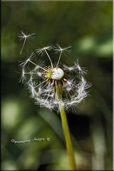 Morning Breeze (Aquamarine Images) Tags: flowers insects dandelion wildflowers crickets canonphotos aquamarineimages artisticdandelion