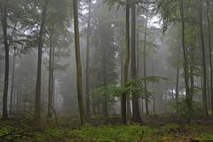 _DSC0752 im Nebelwald - in the cloud forest (baerli08ww) Tags: mist fog forest germany landscape deutschland nikon nebel natur landschaft wald rheinlandpfalz westerwald bestcapturesaoi mygearandme mygearandmepremium mygearandmebronze celebritiesofphotographyforrecreation photographyforrecreationclassic celebritiesphotographyforrecreation