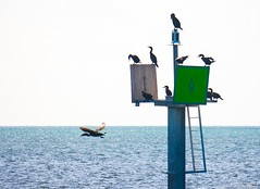 Misfit? Or Pioneer? (moony: stupidly dreamy) Tags: blue sea sky gulfofmexico water birds day bright florida misfit keywest pioneer