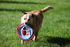 IMG_0615 (i_am_lee_sam) Tags: red dog senior cattle australian heeler acd adoptable ziva