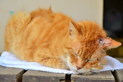 () /  Cat to Napping (Dakiny) Tags: animal animals june japan cat yokohama     2013  aobaku 2013   shimoyamotocho