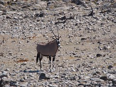 Gemsbok (Susan & Doug's Adventures) Tags: animals mammals namibia oryx etosha gemsbok