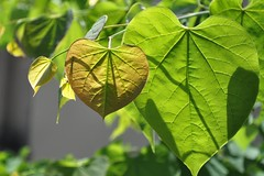 it takes a huge heart... (christiaan_25) Tags: family light sunlight green love leaves sunshine dedication hearts dad father fathersday backlighting redbud