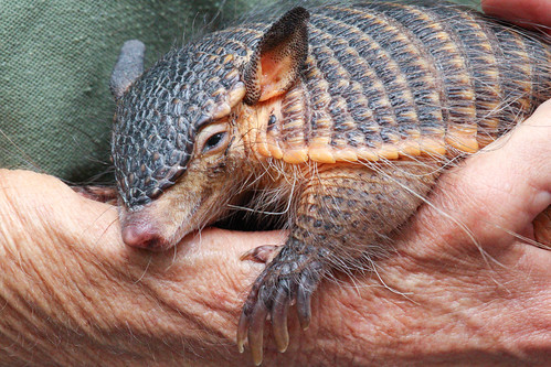 Screaming Armadillo to Tired to Scream by Mark Dumont, on Flickr