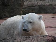 Polar bear ...portrait (Ivan) Tags: bear portrait white animal mammal polar wistful carnivore