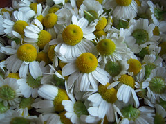 Chamaemelum nobile (Bellwizard) Tags: yellow amarillo groc manzanilla camomile camomilla chamaemelumnobile camomila chamomille