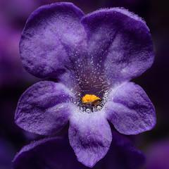 Lavender (p w jewitt) Tags: flower macro nature lavender botany focusstacking