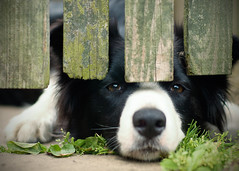 Lugubrious Dog (cousinmacho) Tags: uk summer dog nikon nikond70 sheepdog saddog dogexpression englishsheepdog
