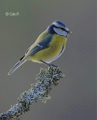 Blue Tit (Cyanistes caeruleus) (Col-Page) Tags: