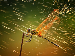 Dragonfly-Rain-Wallpaper (vinod_pednekar) Tags: