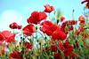 Poppy (Sthefany Oliveira) Tags: red flower flor tailandia da poppy beleza suave papoula suavidade