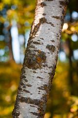 birch (jimmy_racoon) Tags: autumn tree nature is state william obrien birch 70200 f4l parkfall 70200f4lis canonxsi
